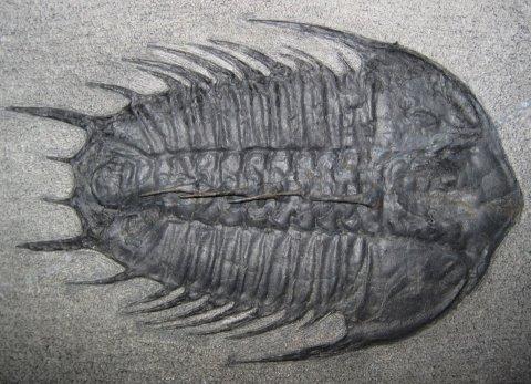 Fosil de Trilobite