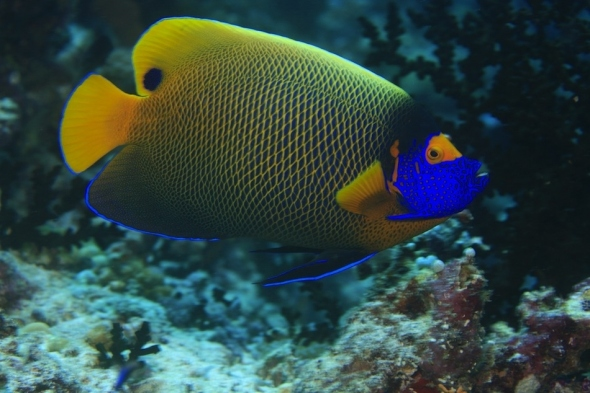 Blue Face Angel fish